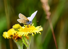 Common Blue Butterfly (Gav Jensen) Tags: common blue butterfly macro nikon d750 tamron 90 chambers wood lincolnshire