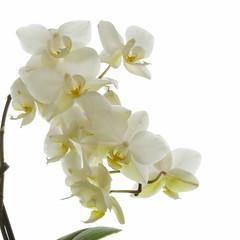 whiteout! v.1 (Wendy:) Tags: orchid cymbidium white flower macro highkey backlit