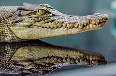 Croc Snout (Scottmh) Tags: 50mm australia nikon victoria crocodile d7100 lizard melbourne reptiles snake snout teeth animal