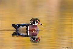 Wood Duck in Autumn Colours (Daniel Cadieux) Tags: duck woodduck male drake breedingplumage autumn fall reflection ottawa swim swimming yellowwater