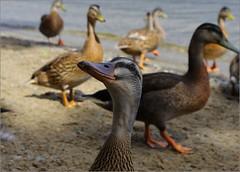 Daffy Duck (Ben.Allison36) Tags: luss loch lomond scotland