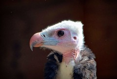 White Headed Vulture at the Hawk Conservancy (c.marney) Tags: white headed vulture