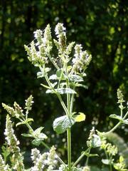 Herb in Garden (Quetzalcoatl002) Tags: herb basil tulasi garden