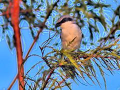 Loggerhead Shrike HDR 20160818 (Kenneth Cole Schneider) Tags: florida miramar westbrowardwca