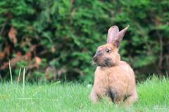 Lapin domestique (Mariie76) Tags: animaux lagomorphe lapin rabbit grandes oreilles marron museau noir curieux verdure nature herbe