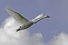 Heavyweight Overhead (me'nthedogs) Tags: swan flying river parrett oathlock somerset levels