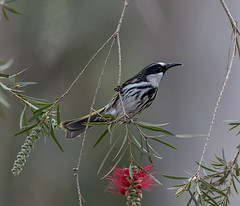 White Cheeked Honeyeater (archie0) Tags: bird australia grevillea