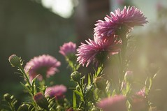 _DSC7973 (Maks.D) Tags:    flowers garden stuff   sun  rays beauty  summer