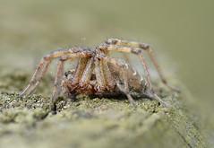 Agelena labyrinthica (Alan Thornhill) Tags: agelena labyrinthica cavenhamheath suffolk spider