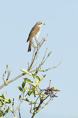 Red-backed Shrike (female) (christopheradler) Tags: germany redbacked shrike lanius collurio