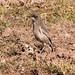 Brown-tailed rock chat  (Cercomela scotocerca)