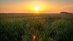 Arrozales coloridos (Milln Martnez) Tags: arrozalescoloridos albufera valencia amanecer color roco arroz
