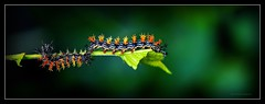 Double Occupancy (J Michael Hamon) Tags: buckmoth caterpillar widescreen nature outdoor green worm insect bug macro hamon nikon d3200 nikkor 40mm vignette photoborder color