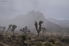 A rare sight: Joshua trees in the rain (wandering tattler) Tags: california joshua tree joshuatree park desert 2016 rain landscape