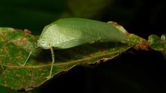 Katydid (Phaneropterinae, Tettigoniidae) (John Horstman (itchydogimages, SINOBUG)) Tags: insect macro china yunnan itchydogimages sinobug katydid bush cricket orthoptera tettigoniidae phaneropterinae green topf25