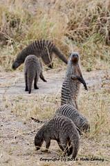 Comay_20160807_Tanzania_DSC_9269 (Josh Comay) Tags: africa land mongoose natecomay shotby tanzania