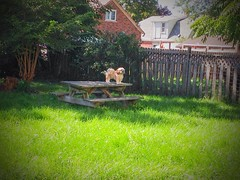 King of the castle! (PEEJ0E) Tags: mutt rescue maltese fence grass table picnic yard dog rusty