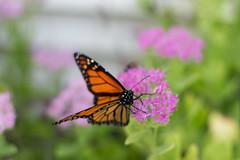 IMG_6901.jpg (scott_bohaty) Tags: state photographytype subject location butterfly nebraska macro