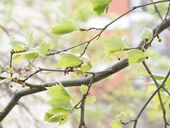 Las hojas... (Letua) Tags: dof green hojas jovenes leaves light suave tiernas verde viento wind