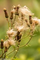 IMG_9078 (m.mosheuvel) Tags: 2016 biesbosch marlijn bloemen boot insecten natuur