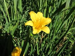 Yellow flower growing towards the sun at Orchard Beach, Pelham Bay Park, Bronx, New York City (RYANISLAND) Tags: park orchard beach orchardbeach orchardbeachny orchardbeachnyc orchardbeachnewyork orchardbeachnewyorkcity orchardbeachbronx orchardbeachthebronx obny obnyc thebronx bronx bronxriviera ny nyny nyc nys newyork newyorknewyork newyorkcity newyorkstate outdoors nature pelham bay pelhambay pelhambaypark longislandsound urban urbanpark robertmoses daboogiedownbronx boogiedownbronx thebigapple summer summerfun summervacation summerbeach 2016