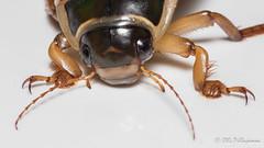 Dytiscus marginalis (Olli_Pihlajamaa) Tags: adephaga animalia arthropoda coleoptera dytiscidae dytiscoidea dytiscus dytiscusmarginalis hexapoda insecta invertebrata elinkunta hynteiset keltalaitasukeltaja kovakuoriaiset kuusijalkaiset niveljalkaiset petokuoriaiset selkrangattomat sukeltajat suursukeltajat hausjrvi kantahme finland fi