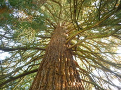 Krone Mammutbaum (Jrg Paul Kaspari) Tags: kanzem saar park weingut von othegraven herbst autumn fall september sequoiadendron giganteum sequoiadendrongiganteum mammutbaum krone