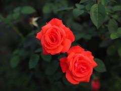 P7300051 (Rene_1985) Tags: olympus pen f panasonic 425 12 nocticron flower bokeh dg blume