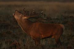 A Sunset Bellow (Derbyshire Harrier) Tags: stag male wildreddeer moorland heather evening dusk sunset peakdistrict peakpark derbyshire reddeer nationaltrust rspb easternmoors roar bellow