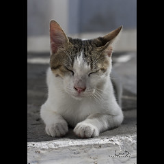 Cat on Chrysoskalitissa Monastery (Photofreaks) Tags: portrait cats beach cat portraits geotagged hellas kreta creta greece monastery crete greekislands griechenland krti ellda   hells ells hellenicrepublic chrysoskalitissa griechischeinseln   laradphotography wwwphotofreaksws ellnikdmokrata hellenischerepublik geo:lat=35311014 geo:lon=23533328