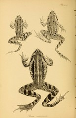 n129_w1150 (BioDivLibrary) Tags: europe frogs amphibians smithsonianinstitutionlibraries taxonomy:order=anura bhl:page=36115113 dc:identifier=httpbiodiversitylibraryorgpage36115113