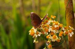 (It's Stefan) Tags: butterfly philippines bohol panglao bilar