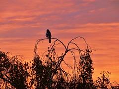 stunning sunset tonight (helenoftheways) Tags: uk london birds silhouettes sunsets orangesky magpies redskyatnight hithergreen explored