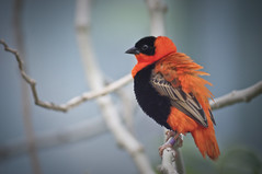 Northern Red Bishop B (larryn2009) Tags: california orange black bird fall animal zoo sandiego unitedstatesofamerica september 2012 sandiegocounty euplectesfranciscanus sandiegosafaripark nothernredbishop