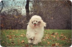 Umi (syzygial) Tags: spoo poodle umi standardpoodle thelittledoglaughed dsc0227 zoomyumi