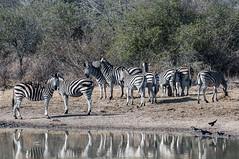 zebras (Walter C Mello) Tags: southafrica safari impala pássaros 2012 zebras capeglossystarling áfricadosul redbilledoxpecker buphaguserythrorhynchus nationalkrugerpark vendadefotos estourinholustrosodocabo búfagadebicovermelho