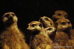 Familienfoto (grafenhans) Tags: erdmännchen zoo dortmund tamron 2870200 slt55 sony alpha 55 slt