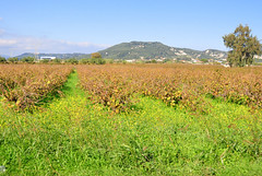 Winter Vineyard (RobW_) Tags: november winter vineyard greece tuesday zakynthos 2012 sarakinado nov2012 13nov2012
