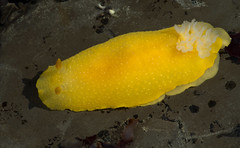 white-spotted porostome (matt knoth) Tags: slug tidepools mossbeach seaslug fitzgeraldmarinereserve dorid withtk
