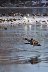 Flying together (begineerphotos) Tags: calgary canon river geese duck swan goose alberta canadiangeese canadagoose canadageese inglewoodbirdsanctuary