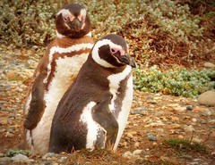 Magellanic penguin couple (Germn Vogel) Tags: bird latinamerica southamerica nature animal fauna penguin couple seabird magallanes otway senootway spheniscusmagellanicus