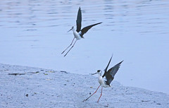 Black-winged Stilt - I'm first ! ! ! (Clement Tang ** Busy **) Tags: travel autumn nature hongkong evening wildlife landing avian seabird newterritories birdwatcher yuenlong himantopushimantopus blackwingedstilt shanpuiriver namsangwairoad