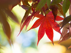 PB040361-1 (Simon*N) Tags: autumn red tree green fall leave japan maple olympus omd em5