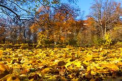DSC08897b (flyinger305) Tags: park autumn light oktober sun tree berlin fall nature season golden licht leaf laub herbst jahreszeit natur wiese sunny land colored colourful blatt sonnig sonne baum sonnenstrahl bunt herbstlaub farbenfroh