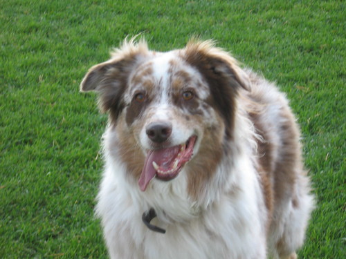 White And Brown Australian Shepherd Grady's been found n...