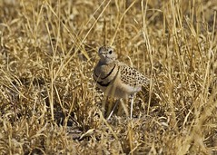 Double-banded Courser (Baractus) Tags: game central reserve botswana kalahari courser doublebanded