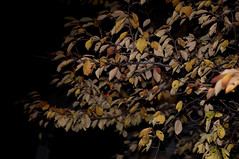 (darmasa) Tags: autumn winter fall leaves night leaf flash kobe