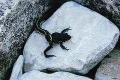 Frog Leg Breakfast (couchmaster73) Tags: frog gartersnake snakeeating