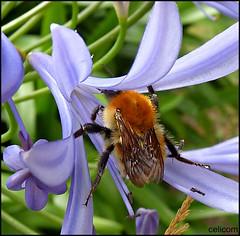 (celicom) Tags: naturaleza flor abeja flo