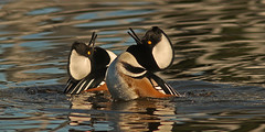 Double Headthrow (cetch1) Tags: california nature birds ducks hoodedmerganser lophodytescucullatus mfcc divingduck matingbehavior northerncaliforniawildlife